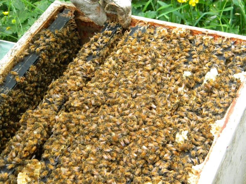 Untersuchung der Spitze eines Langstroth-Bienen-Bienenstocks stockbilder