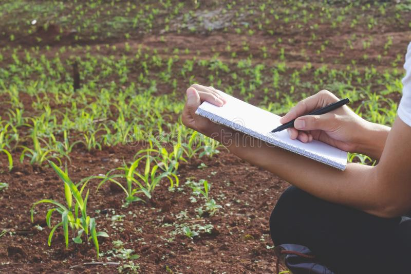 Untersuchungsanlage des Agronomen auf dem Maisgebiet, weibliche Forscher sind, nehmend überprüfend und Kenntnisse auf dem Maissam lizenzfreie stockbilder