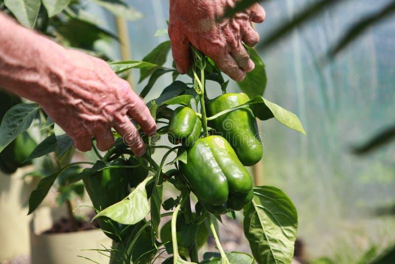 Untersuchungsbusch des grünen Paprikas des älteren Landwirts mit Pfeffern lizenzfreie stockfotografie
