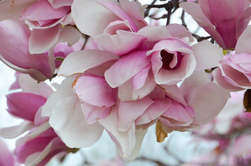 Untertassen-Magnolie in voller Blüte lizenzfreie stockbilder