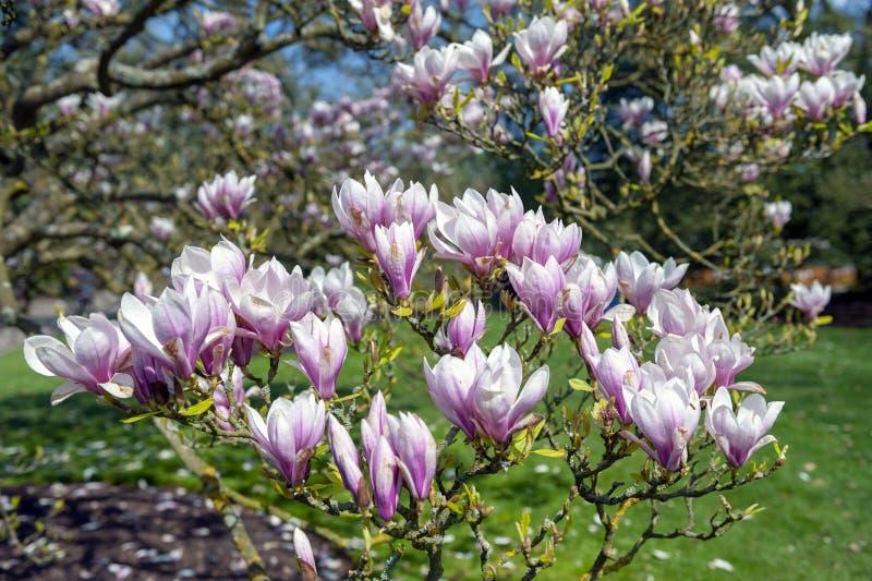 Untertassenmagnolie Magnolie x soulangeana, eine hybride Anlage in der Klasse Magnolie und Familie Magnoliaceae lizenzfreies stockfoto