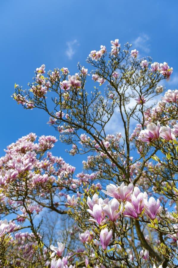 Untertassenmagnolie Magnolie x soulangeana, eine hybride Anlage in der Klasse Magnolie und Familie Magnoliaceae lizenzfreie stockfotos