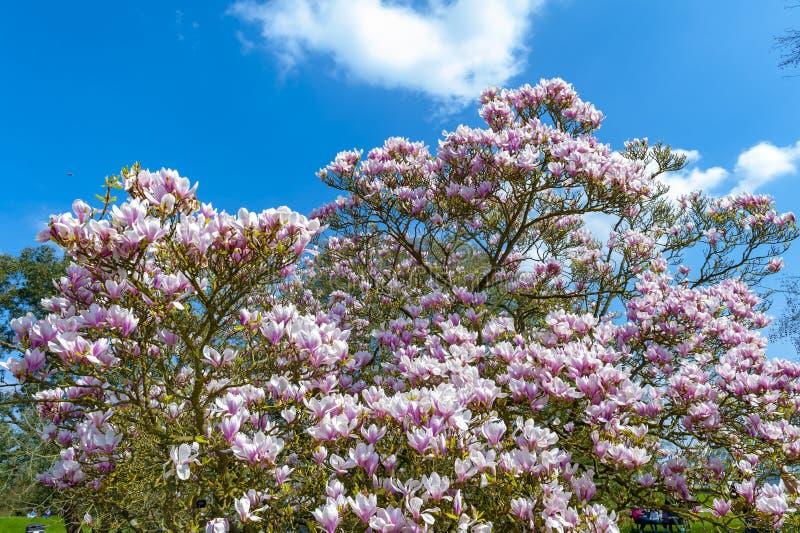 Untertassenmagnolie Magnolie x soulangeana, eine hybride Anlage in der Klasse Magnolie und Familie Magnoliaceae stockfoto