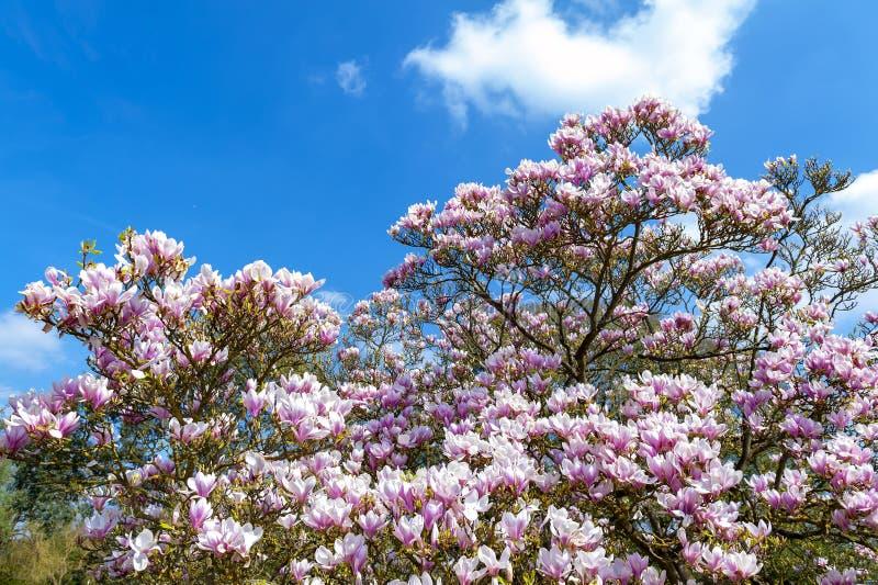 Untertassenmagnolie Magnolie x soulangeana, eine hybride Anlage in der Klasse Magnolie und Familie Magnoliaceae stockbild
