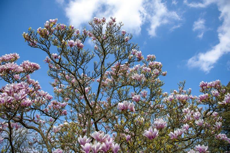 Untertassenmagnolie Magnolie x soulangeana, eine hybride Anlage in der Klasse Magnolie und Familie Magnoliaceae stockfotografie