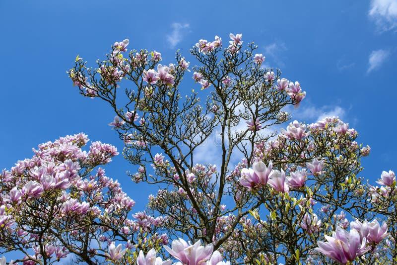 Untertassenmagnolie Magnolie x soulangeana, eine hybride Anlage in der Klasse Magnolie und Familie Magnoliaceae stockfotos