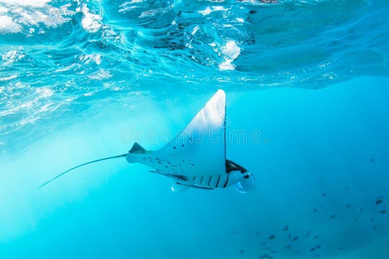 Unterwasseransicht des schwebenden riesigen ozeanischen Mantarochens lizenzfreie stockfotos