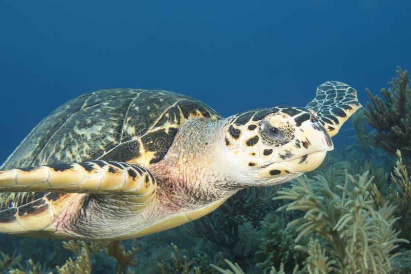 Unterwasserbild der grünen Meeresschildkröte stockfotografie