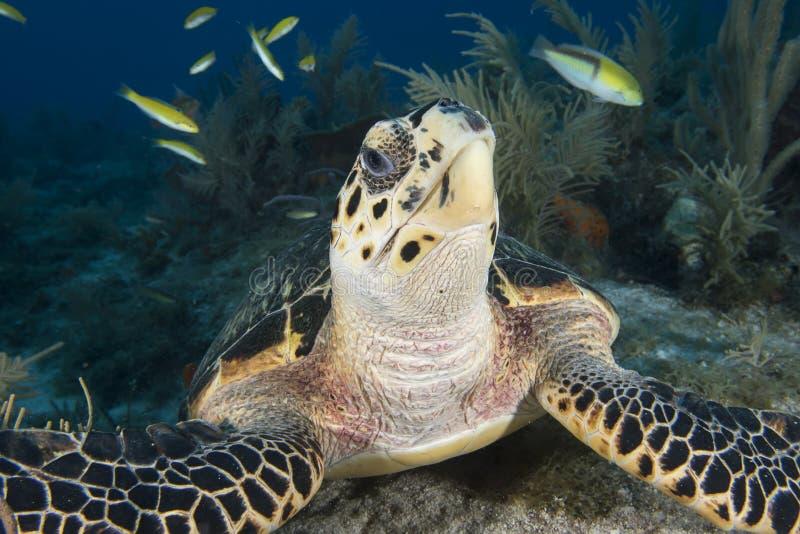 Unterwasserbild des Meeresschildkrötegesichtes stockfotos