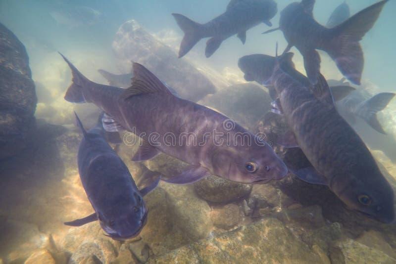Unterwasserfische, Mahseer-Widerhaken, Fisch leben in den verschiedenen Wasserfällen in Nationalpark Namtok Phlio, Chanthaburi, T stockfoto