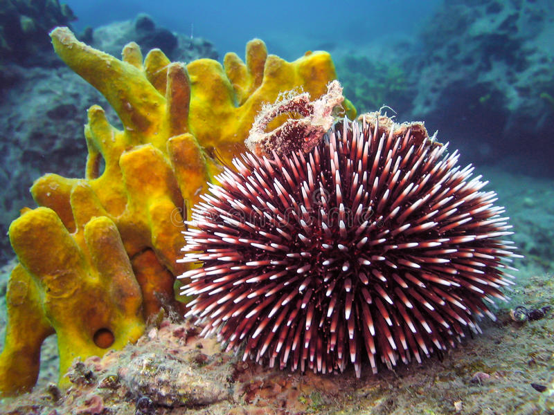 Unterwasserfoto des purpurroten Seeigels lizenzfreies stockfoto
