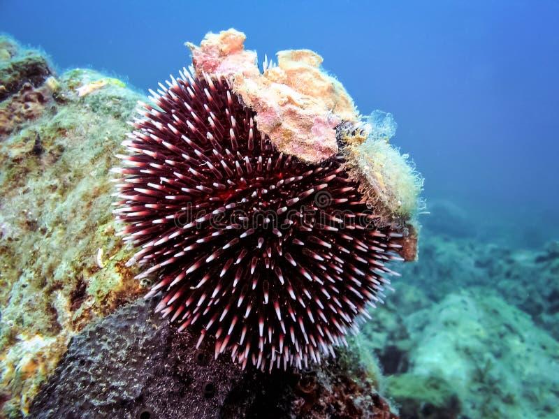 Unterwasserfoto des purpurroten Seeigels stockfoto