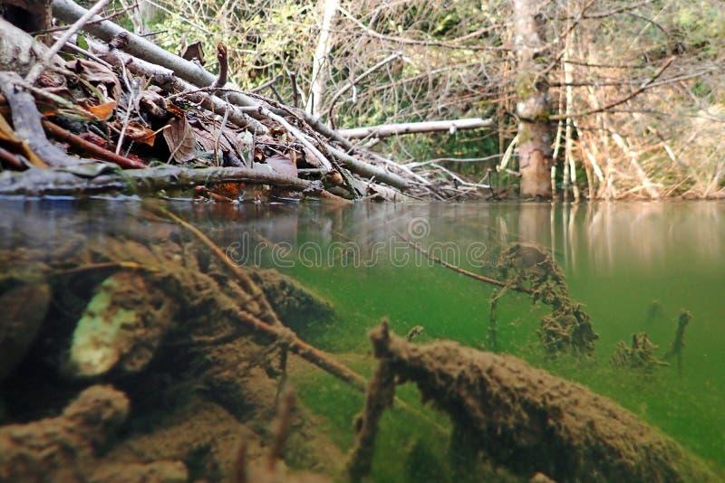 Unterwasserfoto eines Bibergebäudes stockbild