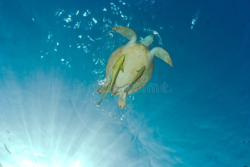 Unterwasserfoto von ein Grünmeeresschildkröte Chelonia mydas mit sha stockbild