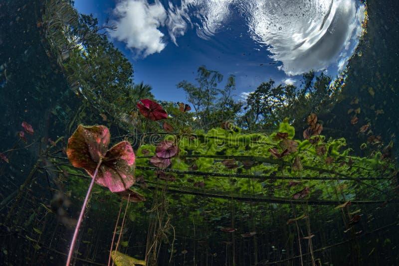 Unterwassergärten und Wasserpflanzen im cenotes Höhlentauchen in Mexiko lizenzfreie stockbilder