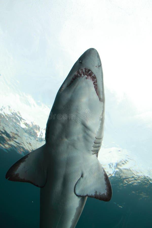Unterwasserhaifisch stockfotos