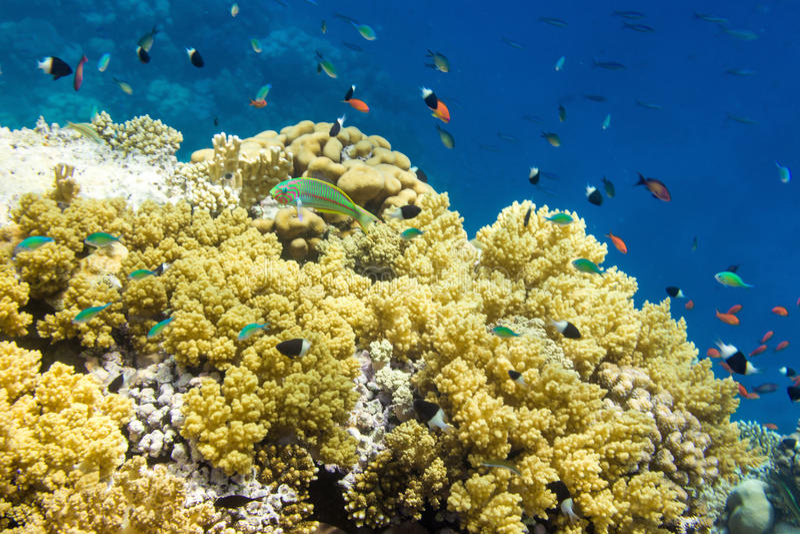 Unterwasserlandschaft mit Klunzinger-` s Wrasse Thalassoma rueppe lizenzfreies stockfoto
