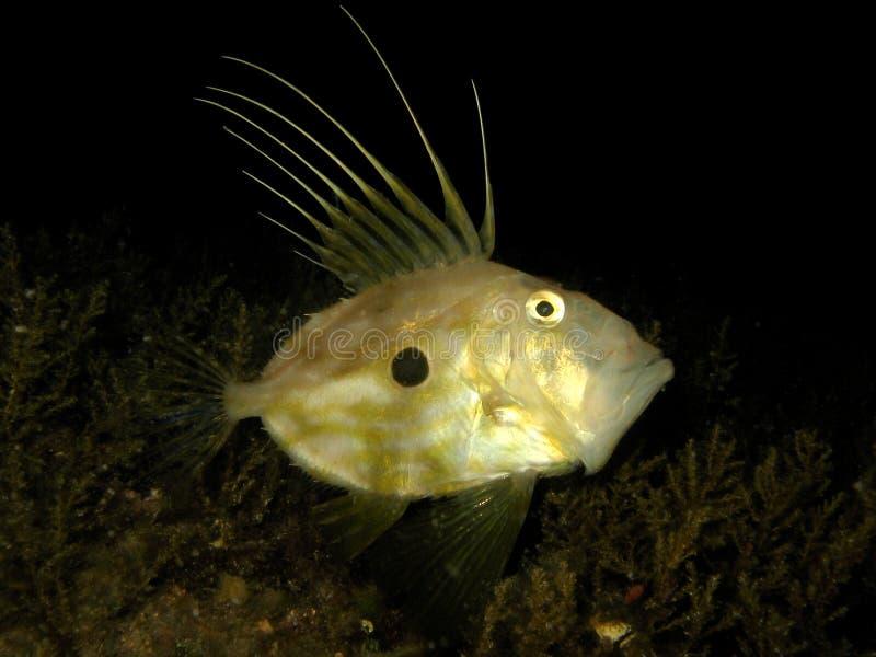 Unterwasserschuß von Zeus Faber- - John Dory- oder Peter's-Fischen lizenzfreie stockfotos