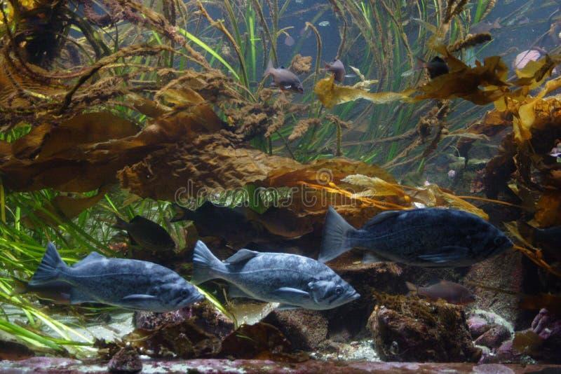 Unterwasserszene, die Schwimmenfische enthält stockfotos