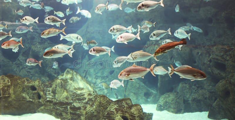 Unterwasserwelt, Masse vieler glänzenden Marinefische lizenzfreie stockbilder