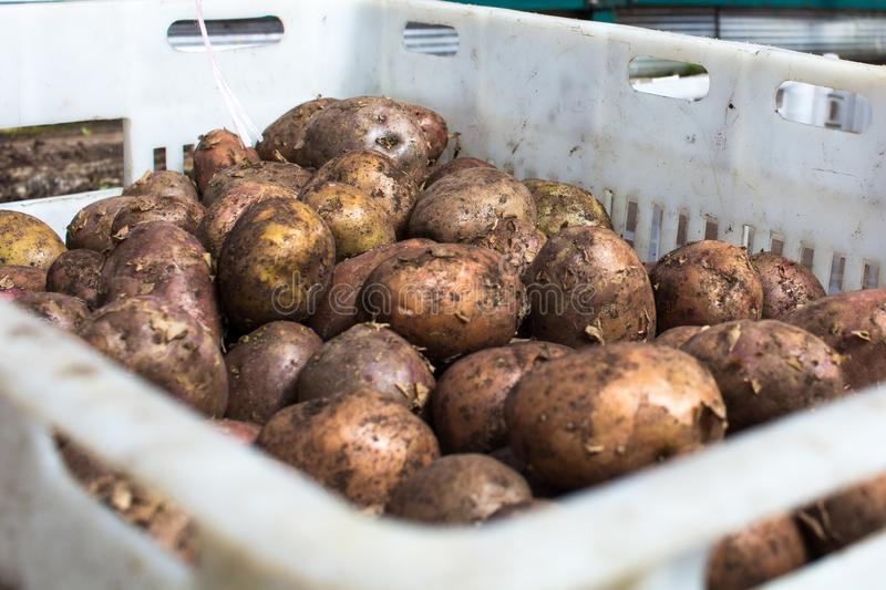 Untreated Bio potatoes on sale at a farmers market. stock images