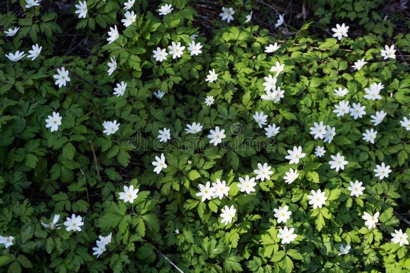 Ununterbrochener Teppich von Waldprimeln Anemone uralensis stockfotos