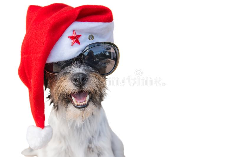 Unusual and curious smiling santa claus doggy portrait with glasses. Cute santa claus dog portrait with glasses. jack russell terrier has a red cap on. The hat royalty free stock photo