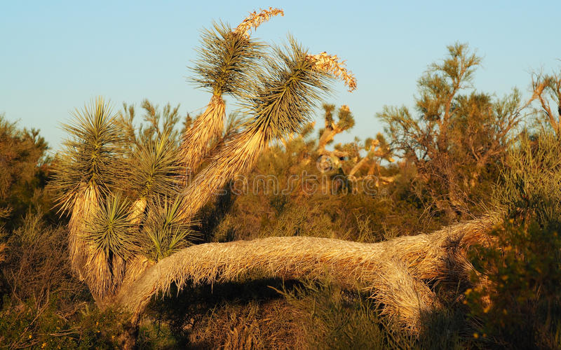 An Unusual Joshua Tree in the Mojave Desert of Arizona. An unusual Joshua Tree with horizontal branches in the Arizona Mojave Desert. Joshua trees are fast stock photos