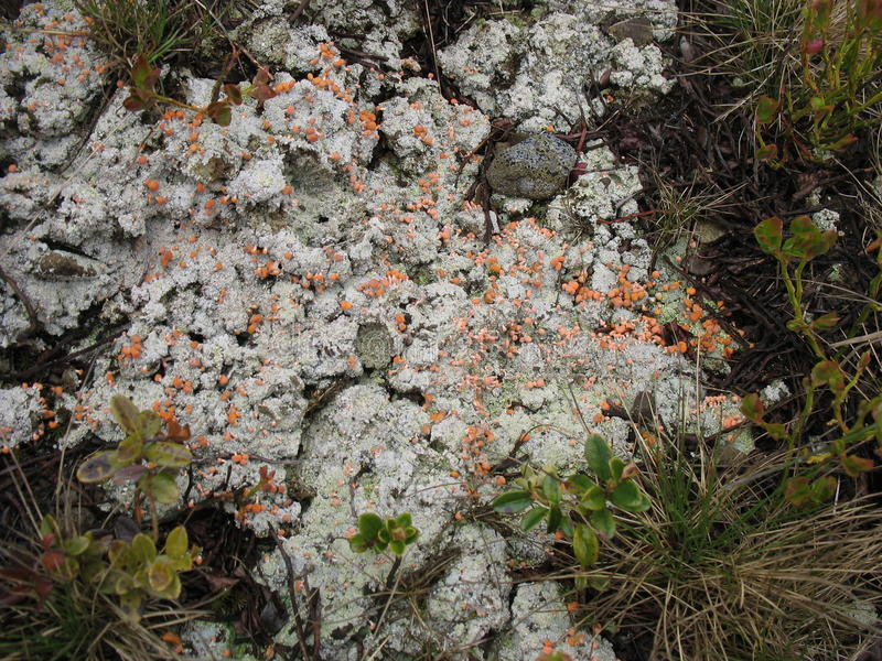 Unusual moss. Bloom gray moss on the rocks in spring royalty free stock photos