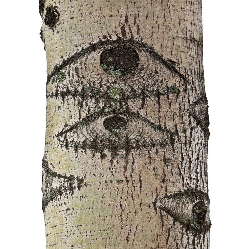 Unusual pattern on a bark. Part of a trunk of an aspen with a pattern in the form of eyes isolated on a white background royalty free stock photography
