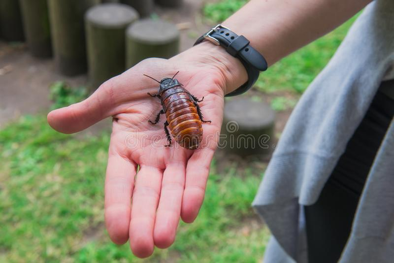 Unusual pets concept. Central American giant cave cockroach, Blaberus giganteus on the woman`s hand. One of the largest royalty free stock photo