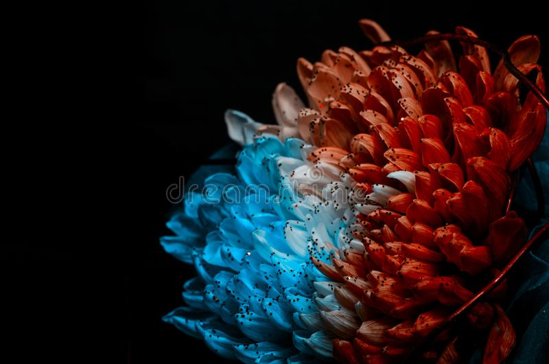 Unusual Red and Blue Dahlia. Low Key studio shot of a bright flower. Good for screen background wallpapers. Unusual Red and Blue Dahlia on a black background royalty free stock photos