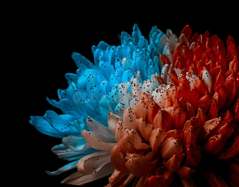 Unusual Red and Blue Dahlia. Low Key studio shot of a bright flower. Good for screen background wallpapers. Unusual Red and Blue Dahlia on a black background stock photos
