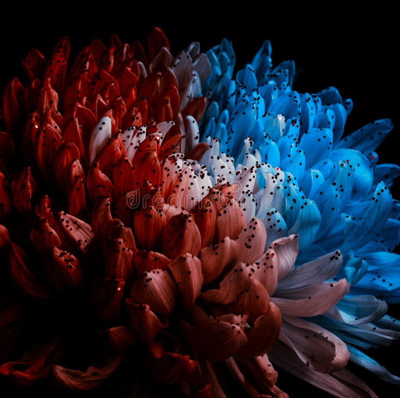 Unusual Red and Blue Dahlia. Low Key studio shot of a bright flower. Good for screen background wallpapers. Unusual Red and Blue Dahlia on a black background stock photo