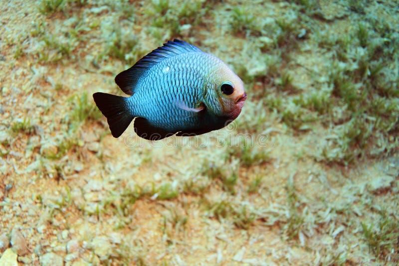 Unusual saltwater fish royalty free stock photos