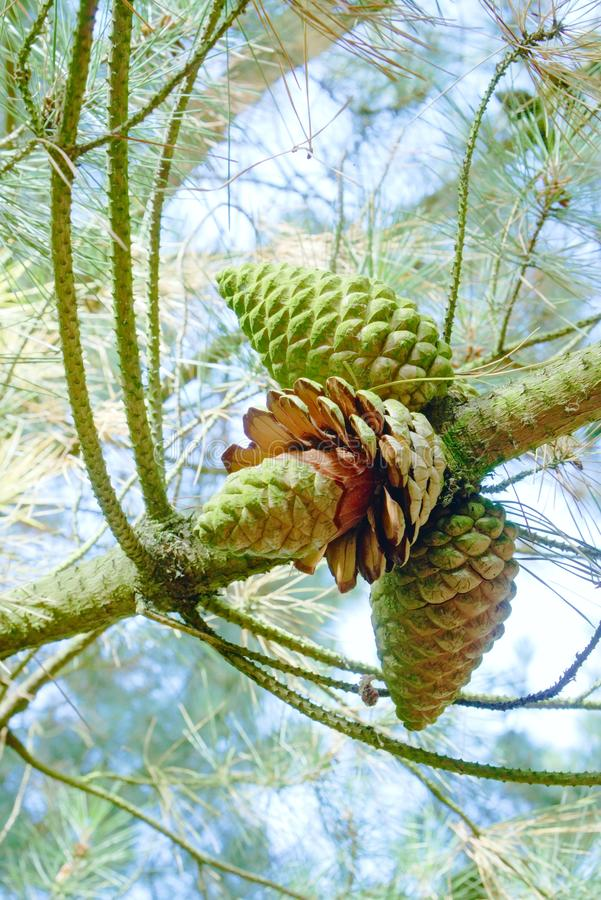 Scots pine cone opening up.. The unusual site of a Scots pine cone opening and dropping its seed while still on the tree in mid summer stock images