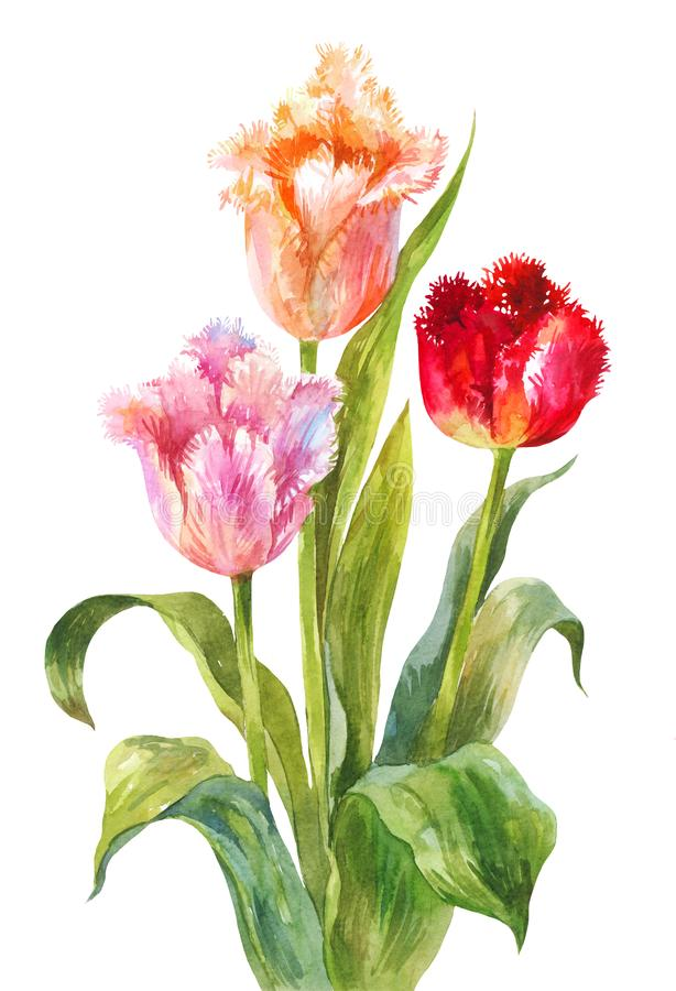 Unusual watercolor tulips. Bright flowers with needle or terry edges isolated on white. Three bright watercolor tulips. Bouquet of flowers on a white background royalty free illustration