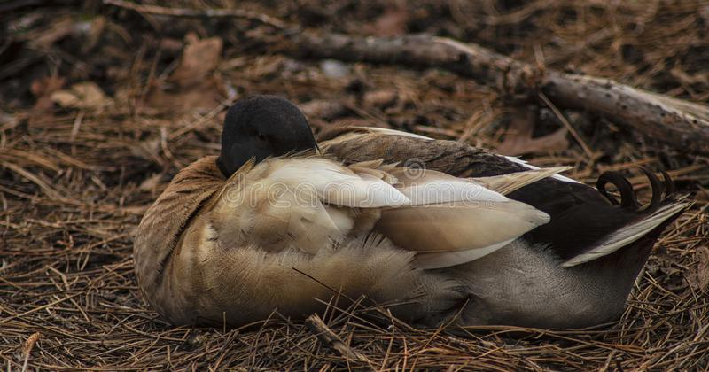 The Unusual Wild Duck Resting. `The Unusual Wild Duck Resting` is a photo captured at Idle Hour Park, located in Phenix City, Alabama stock photography