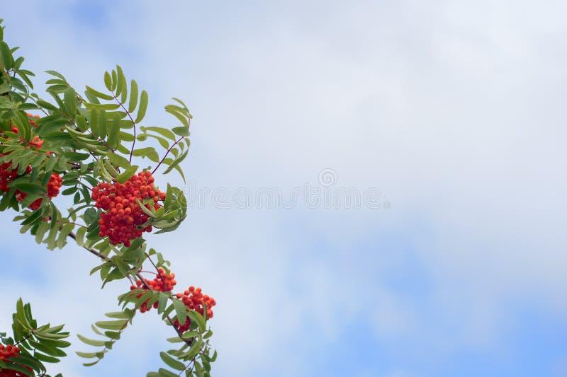 Orange color rowan berries on a windy summer day. Against a lightblue cloudy sky royalty free stock photos