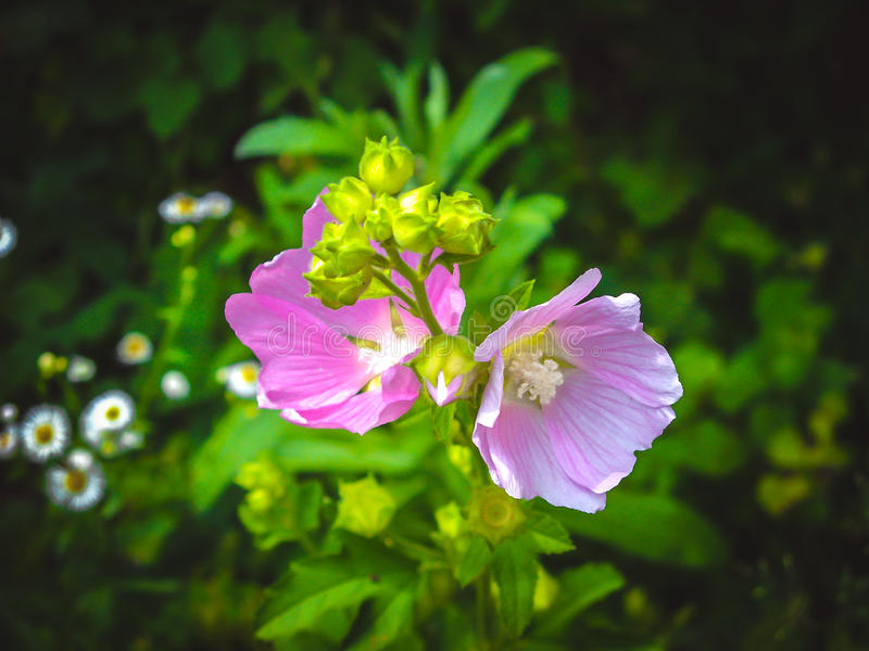 unusually beautiful pink flower on the dark blurry background royalty free stock photography