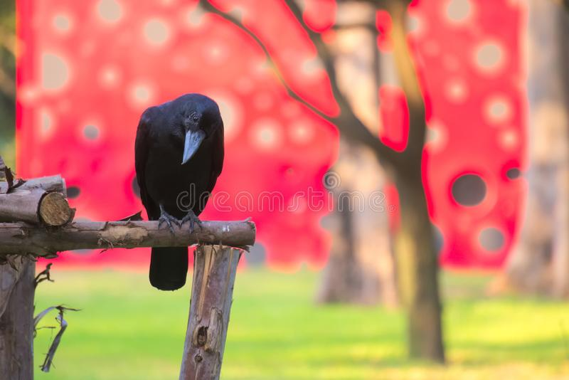An unusually beautiful scene of a black crow perched in front of a festively painted building, blurred strangely by a bokeh lens e stock images