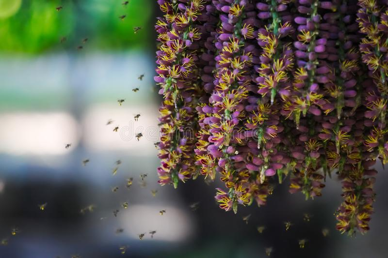 Unusually beautiful scene of swarming bees enjoying the pollen of a hanging group of purple flowers from a palm plant in a lush Th stock photo