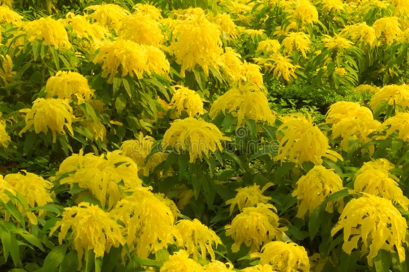 Unusually large hanging yellow flowers, in a large garden bed of a lush green Thai park. stock photography