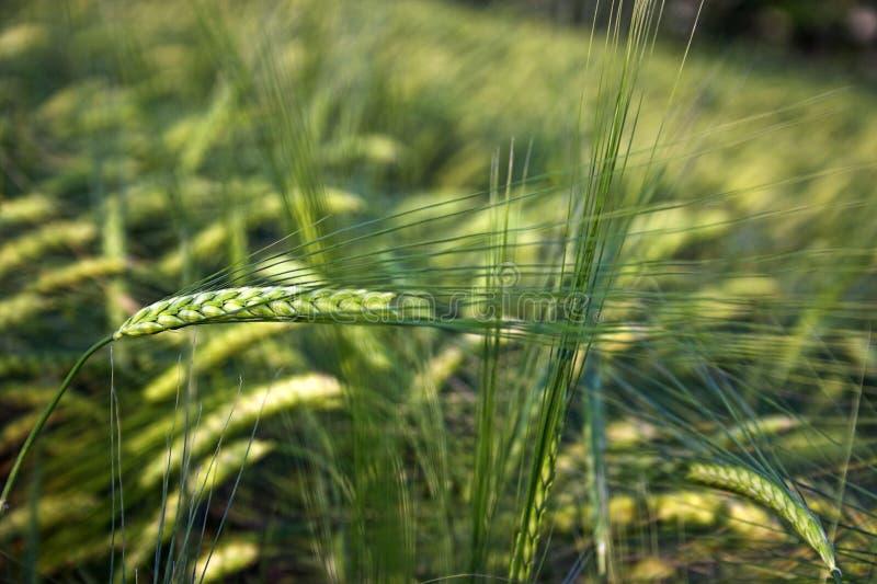 Unverarbeitete Corn-Flakes lizenzfreie stockfotografie