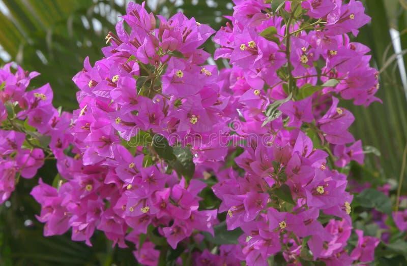 Unvergessliches und helles Blühen der Tropen lizenzfreies stockfoto