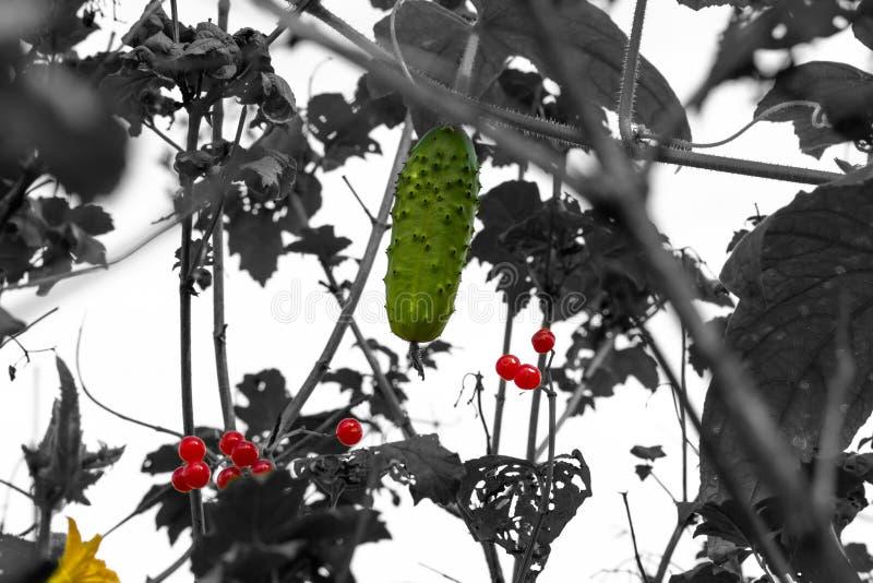 Unverschämte Gurke vereinbarte auf dem Baumrot Viburnum stockfotografie