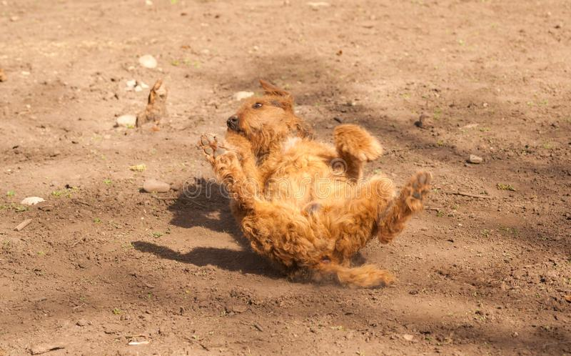 Unverschämtes Airdale Terrier stockbilder