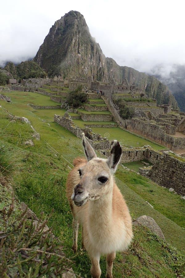 Unverschämtes Lama, das vor Machu Picchu lächelt stockfotografie