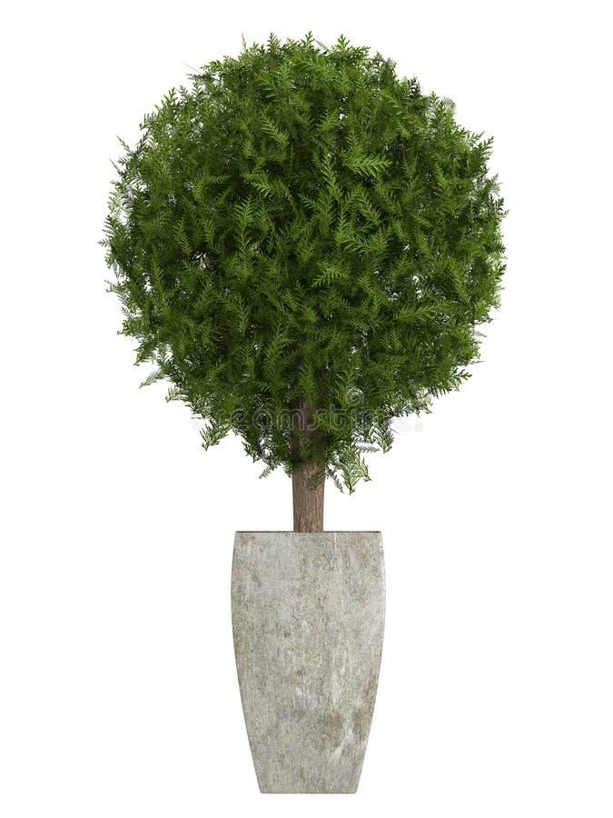 Unverwüstlicher Zypresse Topiarybaum stock abbildung