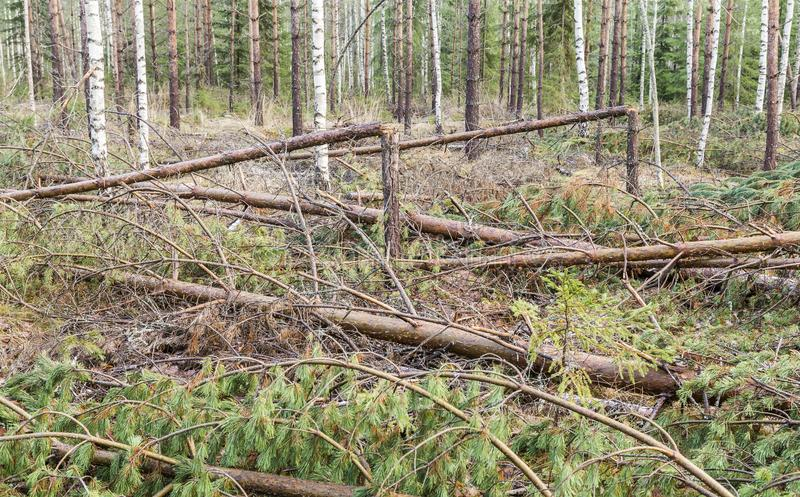 Unwanted storm visited in the young pine forest royalty free stock photos